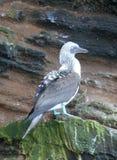 Blaufußtölpel (Galapagos, Ecuador) Lizenzfreie Stockfotografie