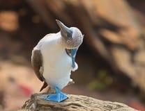 Blaufußtölpel Sula nebouxii, das Kopf verkratzt lizenzfreies stockbild