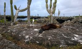Blaufußtölpel und Schlafen Seelöwe lizenzfreie stockbilder