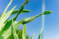 Blaugrüner Curculionidae, der auf dem Gras gegen den Himmel sitzt lizenzfreies stockbild