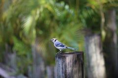 Blauhäher über einem Baumstamm Lizenzfreie Stockfotos