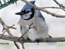 Blauhäher, der auf Niederlassung im Winter sitzt lizenzfreie stockbilder