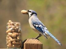 Blauhäher, der eine Erdnuss isst Stockfotografie