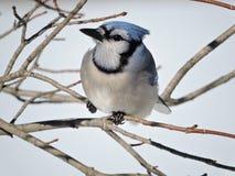 Blauhäher, der in einem Baum auf bloßen Niederlassungen im Winter sitzt lizenzfreies stockbild
