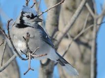 Blauhäher, der in einem Baum sitzt lizenzfreie stockfotos