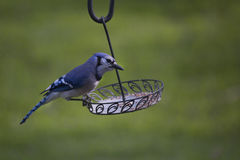 Blauhäher im Frühjahr Lizenzfreie Stockbilder