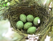 Blauhähereier im Nest stockfoto