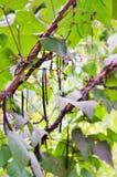 Blauhilde fasole w jarzynowym ogródzie fotografia stock
