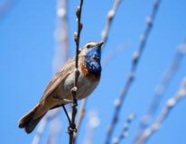 Blaukehlchen auf dem Frühlingszweig Lizenzfreie Stockfotos