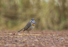 Blaukehlchen Robin lizenzfreie stockbilder