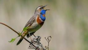 Blaukehlchen singt, das Blaukehlchen, das auf der Niederlassung sitzt lizenzfreie stockbilder