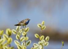 Blaukehlchen sitzt auf einem Frühlingszweigzweig Stockbild