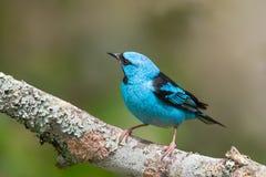 Blaukopfpitpit männlich Stockbild