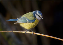 Blaumeise - Cyanistes-caeruleus Stockbilder