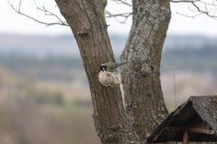 Blaumeise, Cyanistes-caeruleus, Parus caeruleus, am birdhaus im Frühjahr lizenzfreie stockfotografie