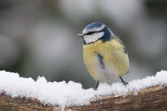 Blaumeise, die auf einer Niederlassung im Schnee sitzt Stockbild