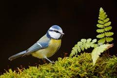Blaumeise, netter blauer und gelber Singvogel im Herbst, nette grüne Moosniederlassung mit Farn, Deutschland, netter kleiner Voge Lizenzfreie Stockfotografie