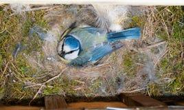 Blaumeise am Nistkasten auf Eiern Stockbild