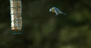 Blaumeise, Parus caeruleus, Erwachsener im Flug, auf Abflussrinne, landend Normandie, stock video footage