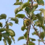 Blaumeisevogel stockfotografie