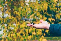 Blaumeisevogel, der Nüsse von einem man& x27 isst; s-Hand Lizenzfreie Stockbilder