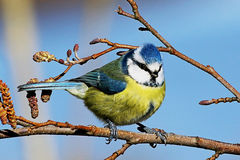 Blaumeisevogel gehockt auf Niederlassung Stockfoto