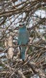 Blauracke-Vogel auf Stange Lizenzfreie Stockfotos