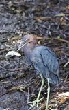 Blaureiher fing einen Fisch lizenzfreie stockfotos