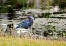 Blaureiher, Palmen-Stadt Florida Lizenzfreies Stockbild