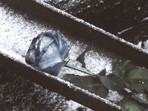 Blaurose legt auf Schnee - ein Symbol der Einsamkeit Stockbild