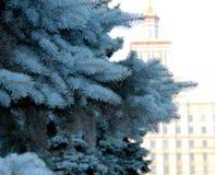 Blautanne auf dem Hintergrund des Instituts Lizenzfreie Stockfotos