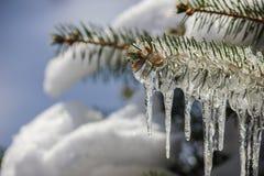 Blautanne-Kiefer bedeckt mit Eiszapfen und Schnee Stockfoto