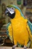 Blauu. GoldMacaw Lizenzfreie Stockfotografie