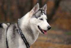 Blauäugiger sibirischer Schlittenhund Stockbilder