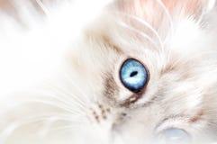 Blauäugiges Kätzchen des flaumigen weißen unschuldigen Babys Lizenzfreies Stockbild