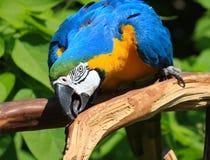 Blauund GoldMacaw Stockfoto