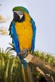 Blauund GoldMacaw Stockfotos