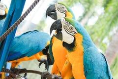 Blauund GoldMacaws Lizenzfreie Stockfotografie