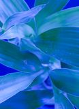 Blauw Bamboe Stock Afbeeldingen