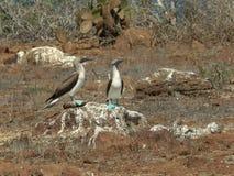 Blauw-betaald domoorpaar die op een rots bij nth seymour in de Galapagos dansen stock foto's