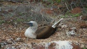 Blauw-betaalde Domoor in de Eilanden van de Galapagos Stock Afbeeldingen