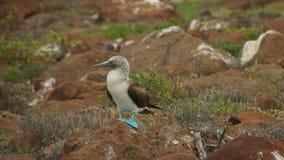 Blauw-betaalde Domoor in de Eilanden van de Galapagos Stock Afbeelding