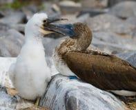 Blauw-betaalde Domoor die haar kuiken voeden De eilanden van de Galapagos vogels ecuador Stock Foto's