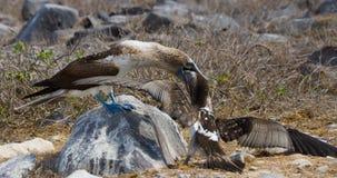 Blauw-betaalde Domoor die haar kuiken voeden De eilanden van de Galapagos vogels ecuador Royalty-vrije Stock Afbeelding