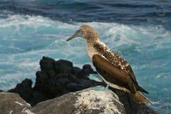 Blauw-betaalde domoor door het overzees, de Eilanden van de Galapagos Stock Fotografie