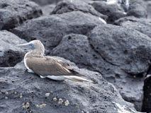 Blauw-betaalde domoor, Sula-nebouxiiexcisa, die op een rots, Santa Cruz, de Galapagos, Ecuador zitten Royalty-vrije Stock Fotografie