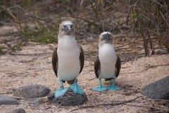 Blauw-betaalde Domoren in de Eilanden van de Galapagos Royalty-vrije Stock Foto's