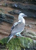 Blauw-betaalde Domoren (de Galapagos, Ecuador) royalty-vrije stock fotografie