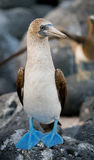 Blauw-betaalde domoren die op de rotsen zitten De eilanden van de Galapagos vogels ecuador Royalty-vrije Stock Afbeelding