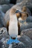 Blauw-betaalde domoren die op de rotsen zitten De eilanden van de Galapagos vogels ecuador Royalty-vrije Stock Foto's